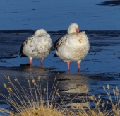 A pair of Andean Geese putting up with a cold wind