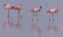 James's Flamingos at over 4,000m altitude in Boliva
