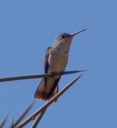 This White-bellied Hummingbird was a resident at our hostal in Sucre, Bolivia