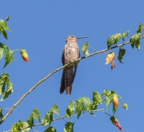 This White-bellied Hummingbird was a resident at our hostal in Sucre, Bolivia...