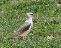 The Andean Lapwing takes over from the Southern Lapwing in the Andes