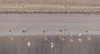 Flamingos and Vicuña (related to Guanacos)
