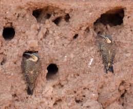 Andean Woodpeckers nest in holes in the ruins of Tiwanaku, Bolivia
