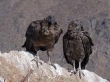 A pair of juvenile Andean Condors at the Mirador del Condor, Colca Canyon, Peru