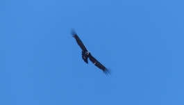 Andean Condors are always a sight to behold