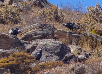 ...but there was a carcass that they were feeding on (three adults and three juveniles here)