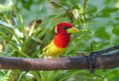 A Red-headed Barbet in Mindo, Ecuador