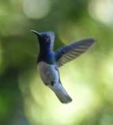 Hummingbirds are difficult to catch in flight but Becca succeeded here with this White-necked Jacobin