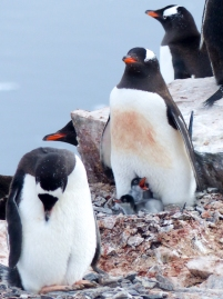 The most common penguin we saw in Antarctica was the Gentoo
