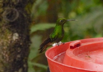 ...and a female Booted Racket-tail has not racket-tail!