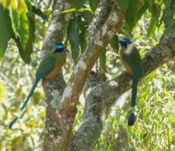 We spied this pair of Amazonian Motmots quite unexpectedly in the distance to the side of the road when we pulled off for a break one morning