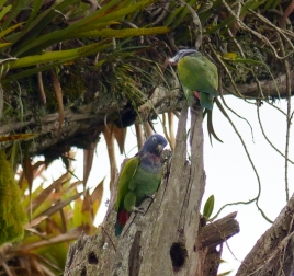 Blue-headed Parrots