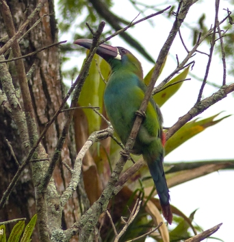 ...along with a breeding pair of Crimson-rumped Toucanets