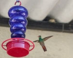 These Rufous-tailed Hummingbirds seem to do well with the feeders and we saw them from Ecuador to the north of Colombia