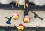 The Christmas decorations were proving a little confusing for the hummingbirds used to hanging feeders in December in Minca