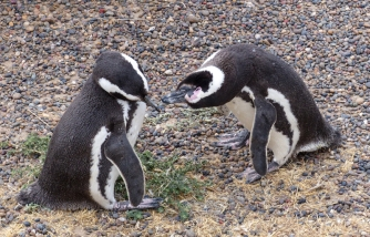 Are you my partner? A pair of Magellanic Penguins greet each other as one returns from the sea with food