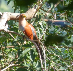 Squirrel Cuckoo - we saw a few but only managed one good photo!