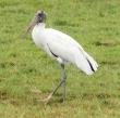 A Wood Stork
