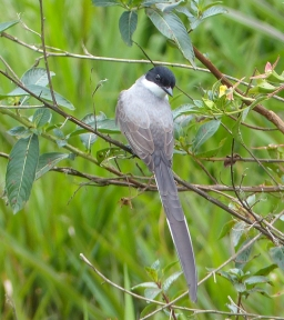 Forked-tailed Flycatcher