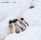 A penguin highway to and from the sea through the snow