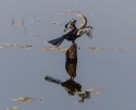 Our first sighting of an Anhinga in the Pantanal