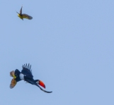 Toco Toucans can eat eggs and chicks so are not liked by other birds. Here a couple of Kiskadees are chasing one away from their nest