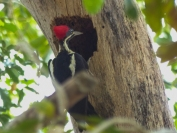 Female Lineated Woodpecker
