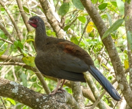 Chaco Chachalacas can be heard every where in the Pantanal and have a very distinctive call that gives them their name