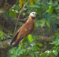 A Black-collared Hawk