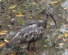 A very wet Plumbeous Ibis