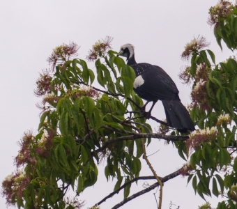White-throated Piping-guan