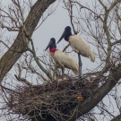 Jabiru are large storks, we think they look like English butlers