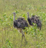 A pair of Greater Rhea