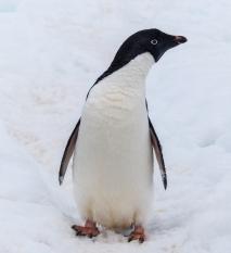 An Adélie Penguin in Antarctica