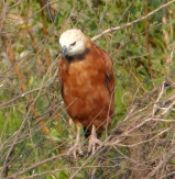 Another Black-collared Hawk