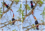 A pair of Toco Toucans posturing at each other