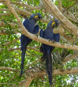 A pair of Hyacinth Macaws