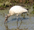 Wood Stork fishing