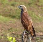 Black-collared Hawks are successful fishers
