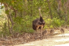 A family of Rhea walking wandering along the road in the Pantanal