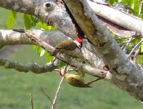 A pair of Green-barred Woodpeckers. The male has the red cheek
