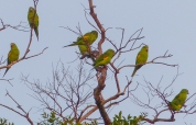 ...then we could see that they were Yellow-chevroned Parakeets