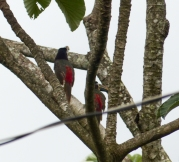 We saw a few Chestnut-eared Aracari in the Pantanal but this was the best photo we got!