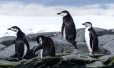 These are male Chinstrap Penguins. They don't breed in the Antarctic itself
