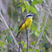 Kiskadees, both Great and Lesser, are widespread. The Great Kiskadee has a very distinct call that can be heard throughout northern South America