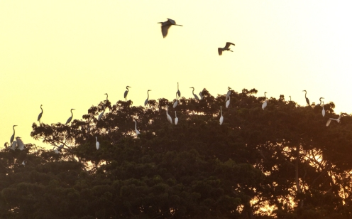Great Egrets settling down for the night