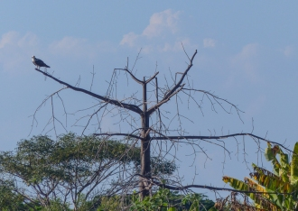 Osprey are rare in the UK. They are quite common elsewhere, especially here in the Colombian wetlands of Mompox
