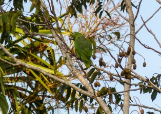 A Mealy Parrot?