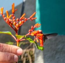 Male Bee Hummingbird - the smallest bird in the world!