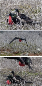 Breeding season for frigate birds in the Galapagos